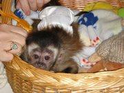 Здоровый мужчина и женщина капуцин обезьян для принятия