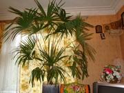 Пальма  выше 1.5м для создания уюта и релаксации.Создайте ощущение тро